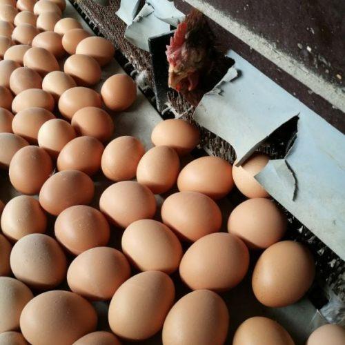 les œufs frais élevage ferme de Berdin Banos