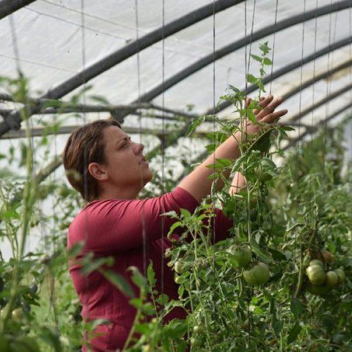 culture des tomates ferme de Berdin Banos