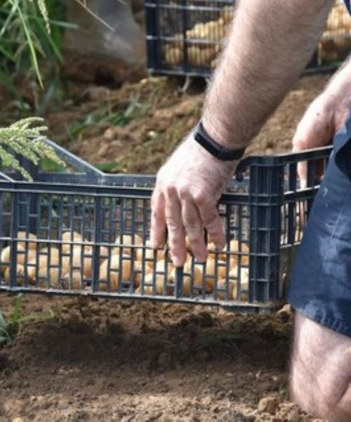 récolte des oignons ferme de Berdin Banos